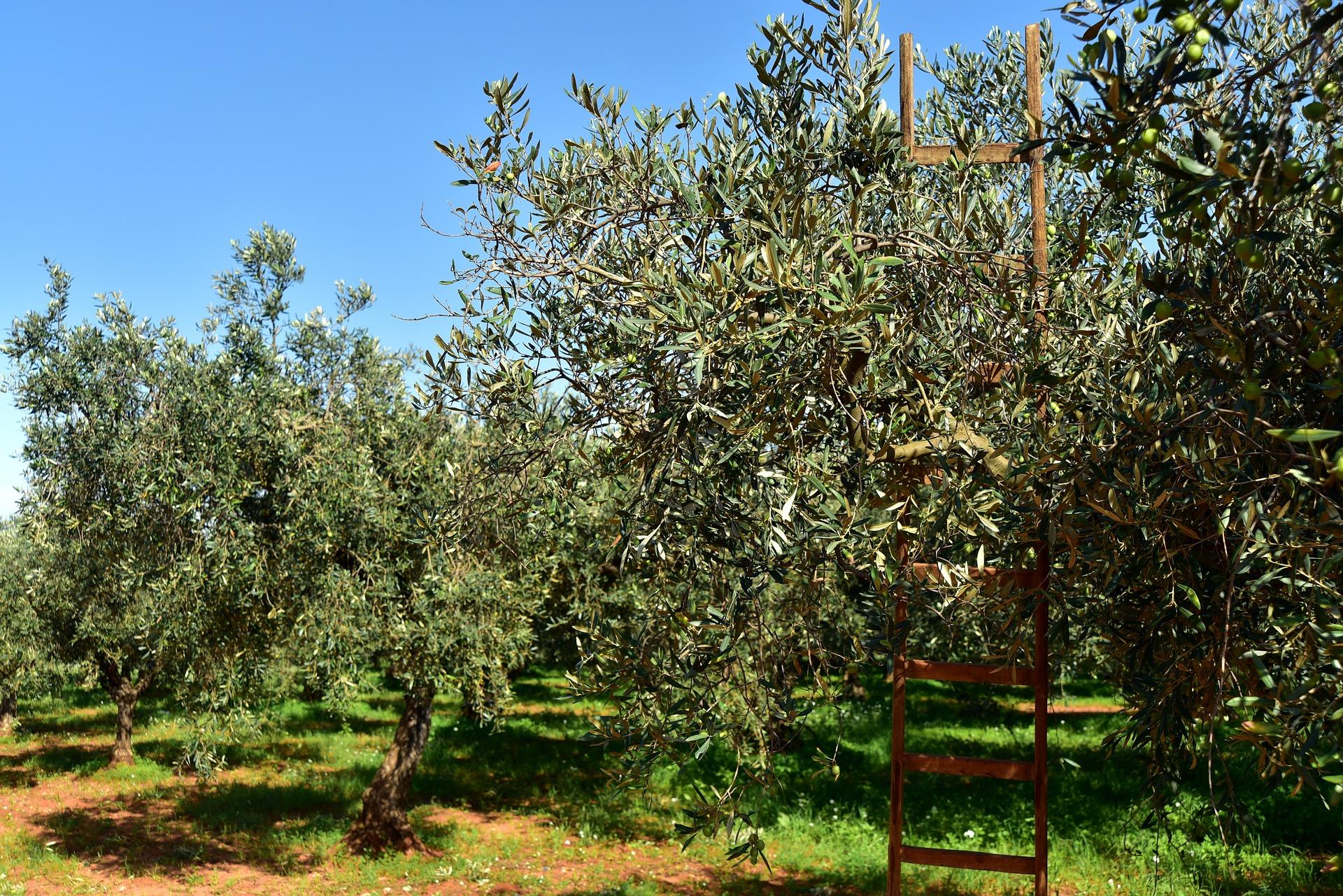 olive-trees-3803042_1920